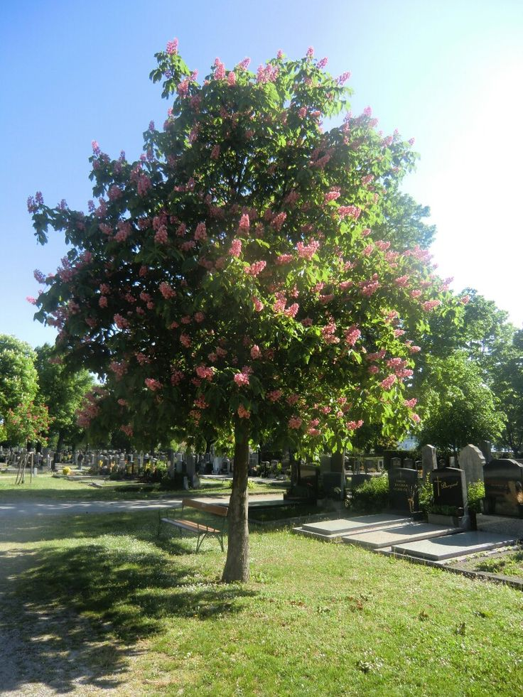 Vienna; Austria; 12, Südwestfriedhof; junger Kastanienbaum