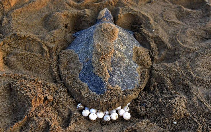 Miles de tortugas marinas vuelven al mar tras desovar en la playa en India. Cerca de 67.000 tortugas oliváceas o golfinas, el ejemplar más pequeño de las tortugas marinas, se están dando cita para desovar desde el pasado martes y hasta este jueves en...