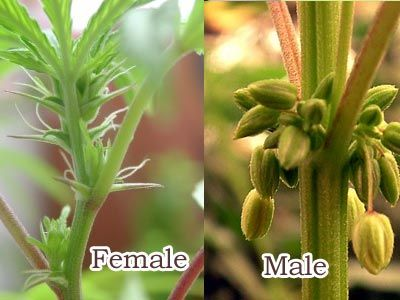 diffrent between female and male cannabis plants