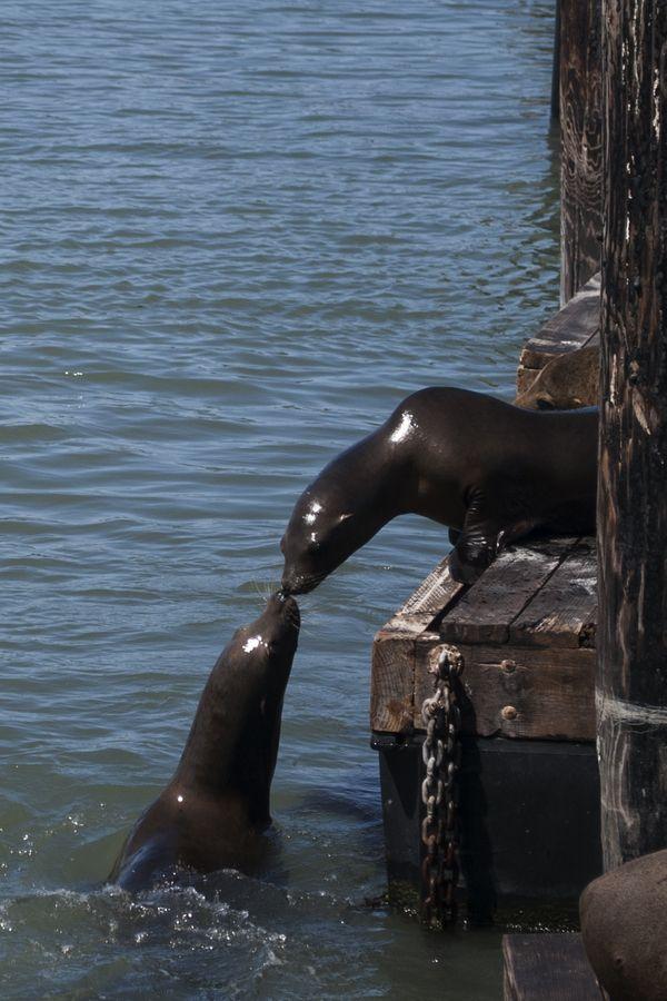 San Francisco Fog Map Live%0A Sea lions kissing at Pier    in San Francisco