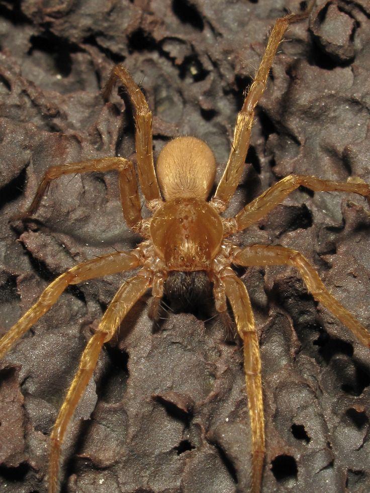Wolf Spider (Lycosa howarthi)