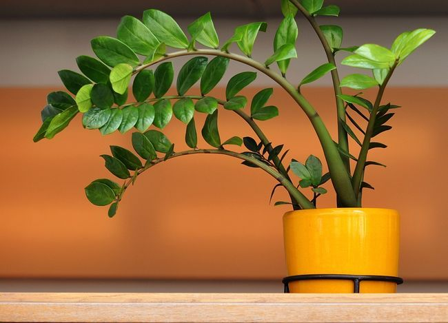 Прекрасное и вечнозеленое растение замиокулькас