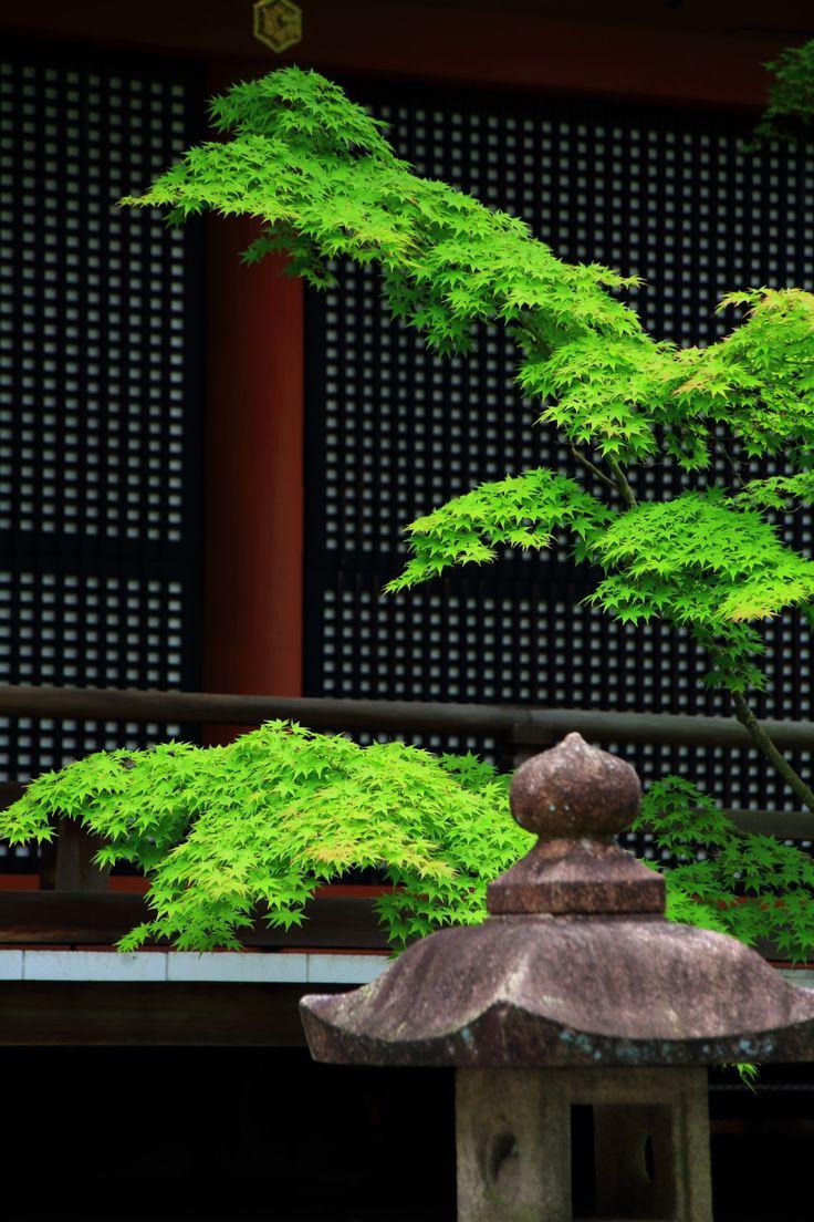 京都永観堂の阿弥陀堂前の灯籠と見事な青もみじ  flesh leaves under the shadow of architecture    new leaves and old stone lantern