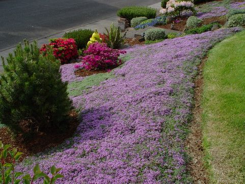 thymus praecox wooly thyme  Good for curbside and in between other plants