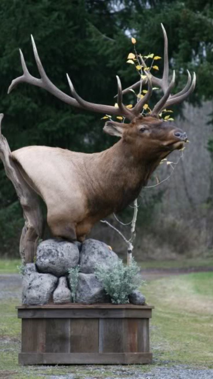 Elk Natural Pedestal Mount Taxidermy Pinterest Elk