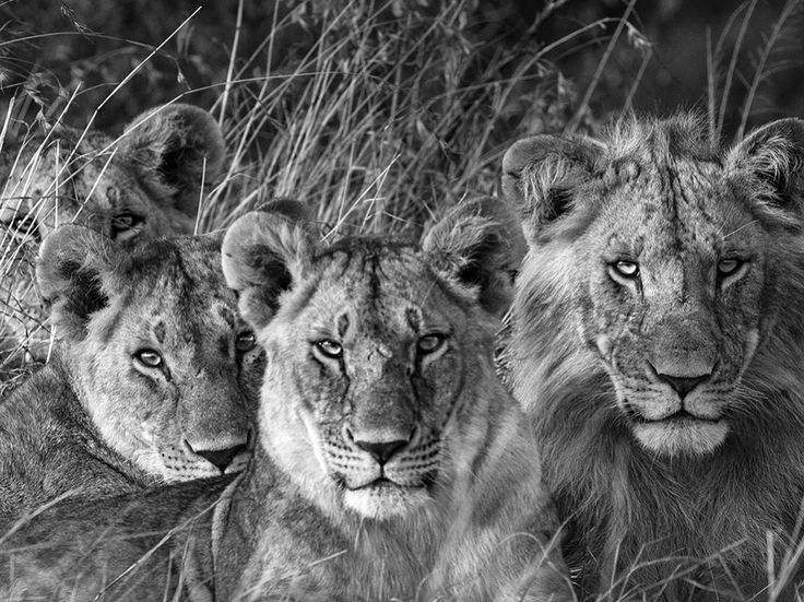 Best Images Of Lions Ideas On Pinterest Lion Images Big - Photographer captures angry lion before attack