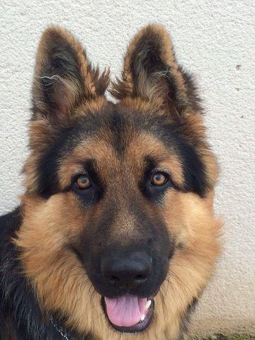 51 best les plus beaux berger allemand images on pinterest - Dessin de chien berger allemand ...