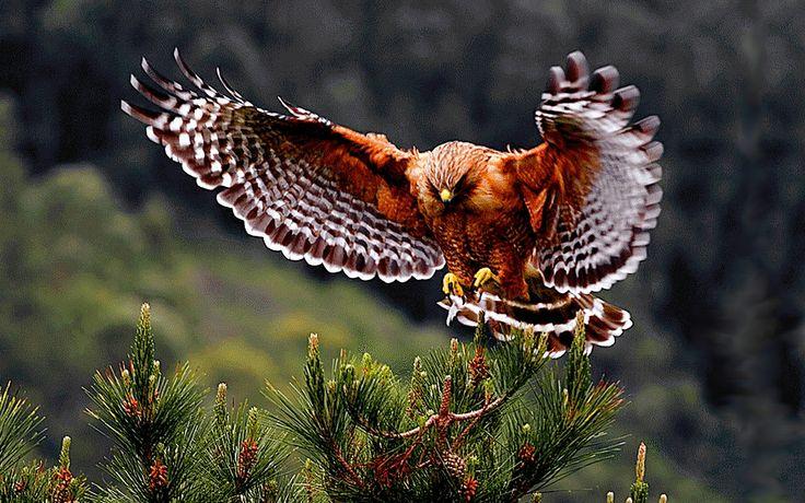 hawk hd wallpaper - photo #31