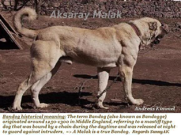 Turkish Mastiff | COOL SHIT | Dogs, Kangal dog, Dog breeds