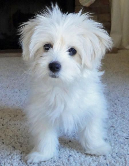 Zoe Also Featured on The Daily Puppy!!!!  9/14/13 - Zoe the Maltese Mix