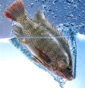 What fish do well in aquaponic systems tilapia catfish for Is tilapia fish good for you