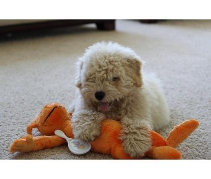 puli puppy! .. please husband!