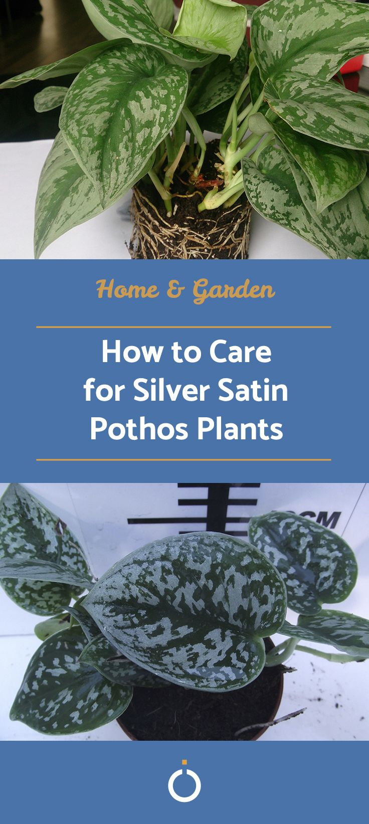 How to Care for Silver Satin Pothos