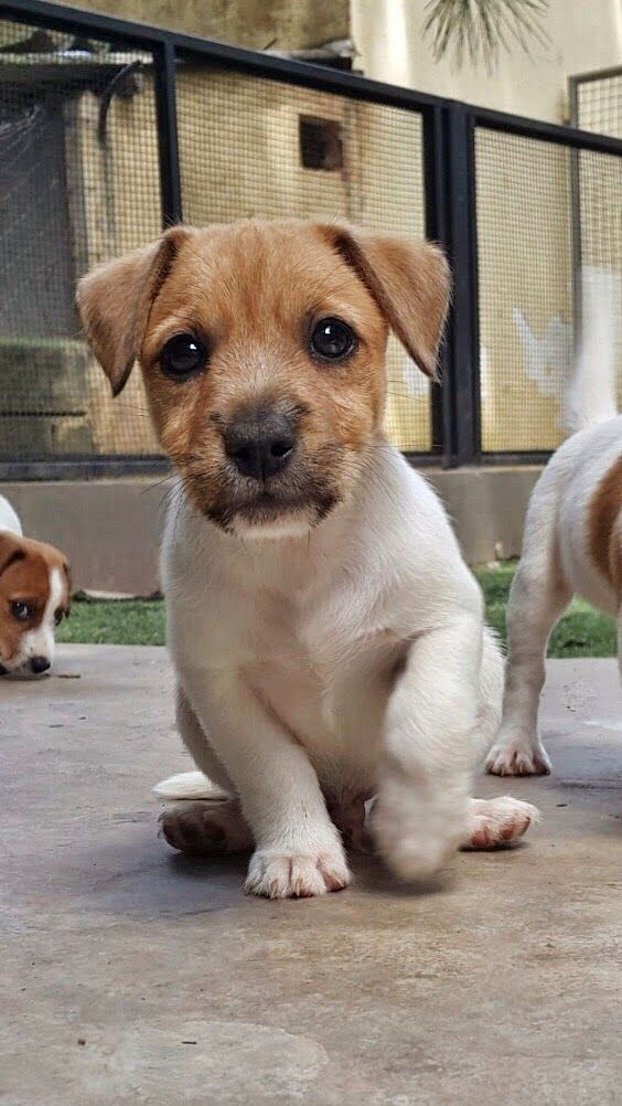 Canil Hunter Dream - Jack Russell Terrier Filhotes disponiveis