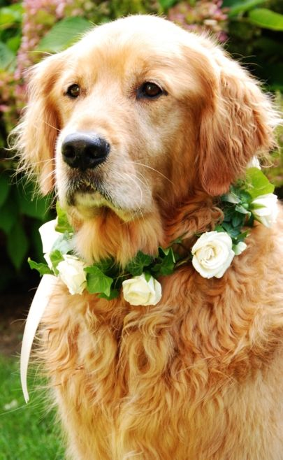 Golden dog wedding flower crown ❀Flowers in their coats❀ I love with this photo. Would love to have a Golden Retriever in my wedding :)