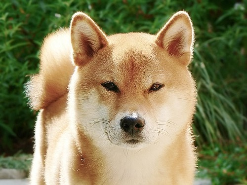 .Cutest Baby, Cute Animal, Shiba Inu, Dogs Puppies, Awesome Pin, Sheba Inu, Cute Dogs, Beautiful Dogs, Little Dogs