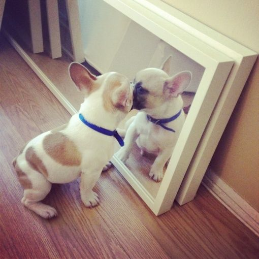 who is that handsome dog?: Bulldogs Puppies, A Kiss, Mirror Mirror, Little Puppies, French Bulldogs, Handsome Guys, Frenchbulldog, Handsome Boys, Happy Puppies