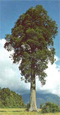 Kahikatea, White Pine, Dacrycarpus, Dacrydioides
