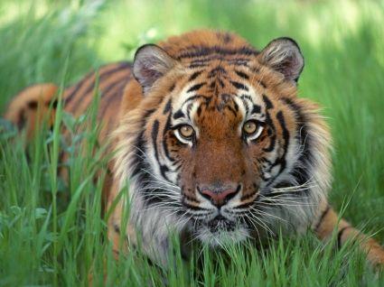 wachsamen Augen Bengal Tiger Hintergrundbilder Tiger Tiere