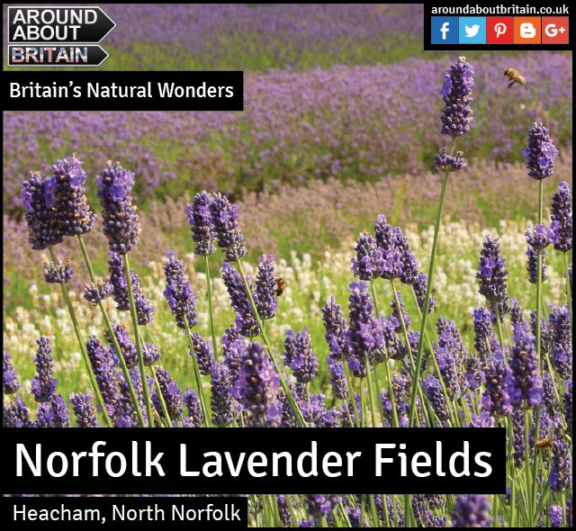 Britain's Natural Wonders:  Norfolk Lavender Fields (Heacham, North Norfolk)  Norfolk's fertile earth has long-since nursed every variety of lavender, and around Caley Mill in the north of the county, growers have cultivated them into vast carpets of flowers.