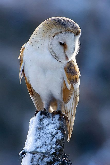 "Barn Owl: ""Wise and Wonderful ~ In This Wondrous World."" (Photo By: Nigel Pye.)"