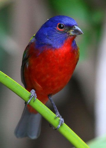 Painted Bunting And Blue Bird