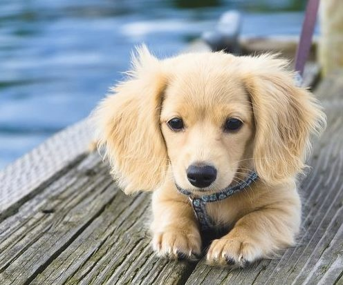 OMFG dachshund and golden retriever mix. are you kidding me? this is the cutest thing I have ever seen