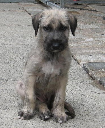 Irish Wolfhound puppy (who would eat a whole lot more than my Papillon does)