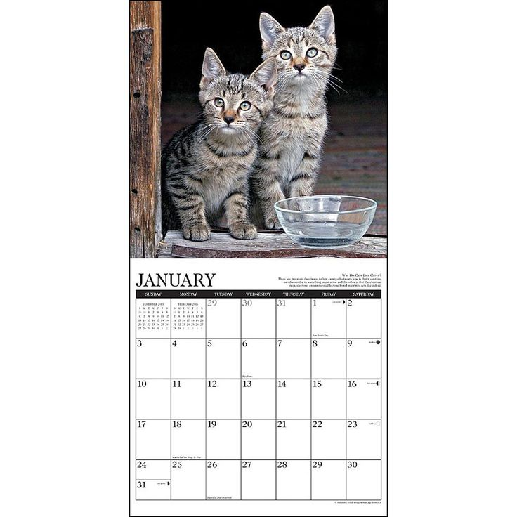 Cat wall calendar 2019