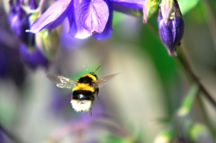 Bumblebees Can Fly in Air Thinner Than Atop Mount Everest - D-brief | DiscoverMagazine.com