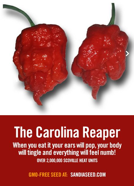 Grow one of the hottest peppers on the planet - the Carolina Reaper: www.sandiaseed.com/products/reaper