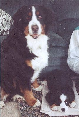 Bernese Mountain Dog. I want one. What a cutie.