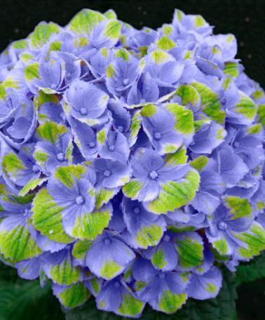 Hortensia Magical® 'Amethyst Blue' | Specielt | Bakker Holland