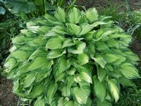 A Green, Variegated Plantain Lily, Hosta undulata