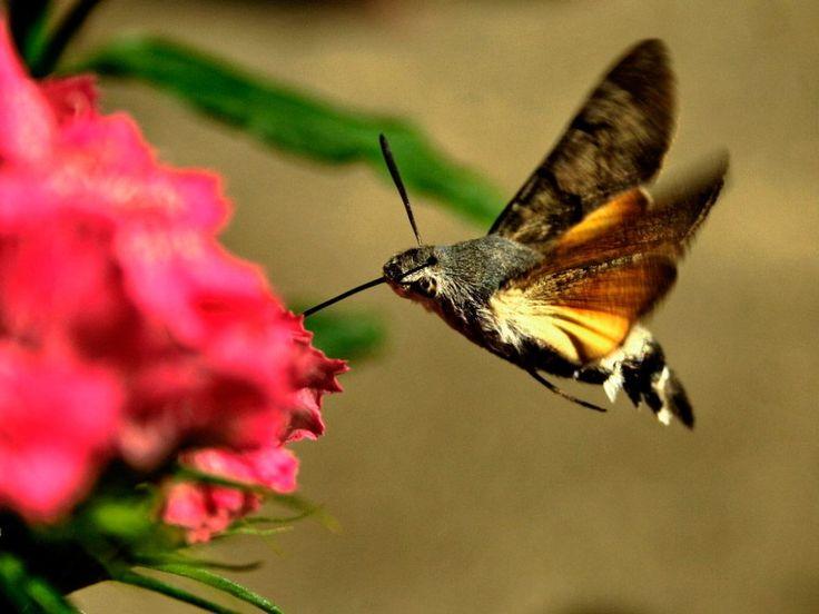 Reproducción de las mariposas colibrí