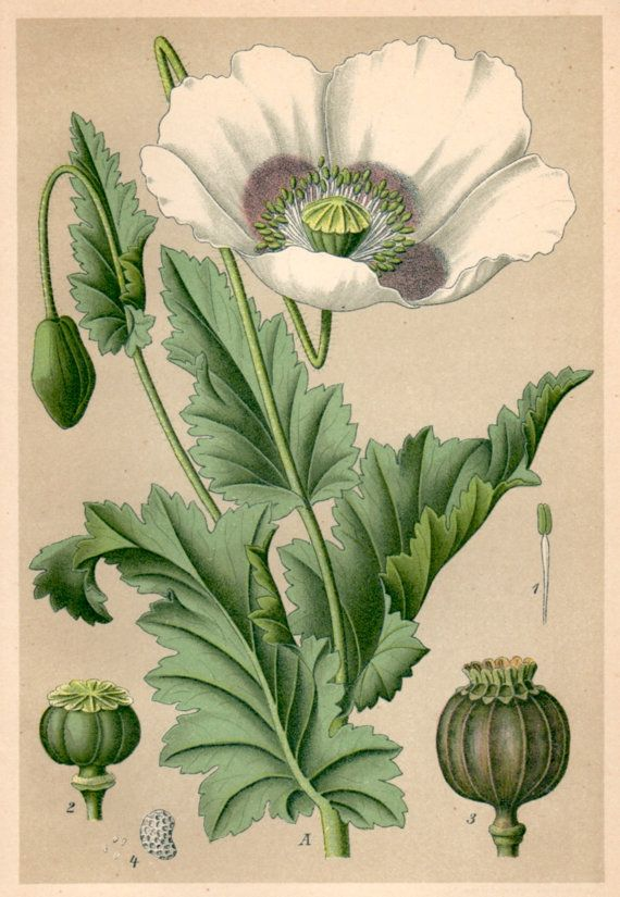 Plate 34. Papaver somniferum (Opium), Schlafmohn.    Antique botanical lithograph from a homeopathy book issued in 1901, beautifully detailed,