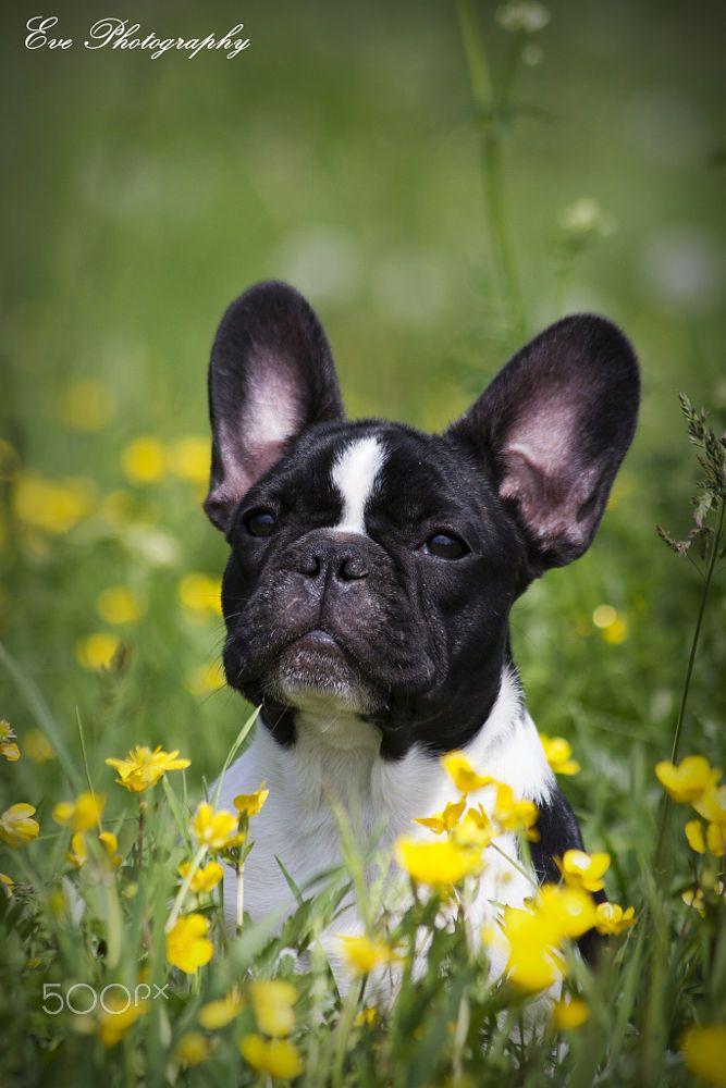 195 best Ñ… French Bulldog images on Pinterest