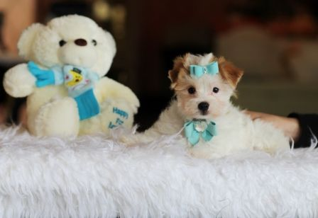♥♥♥ Dawson the Morkie FOR SALE! ♥♥♥ Call NOW! Just In Time For Christmas! 954-353-7864 www.teacuppuppiesstore.com  #morkie #teacupmorkie #maltese #yorkie #yorkshire #terrier #mixed #toy #teacup #micro #pocketbook #teacuppuppies #teacuppuppiesstore #tiny #teacuppuppiesforsale #small #little #florida #miami #fortlauderdale #bocaraton #westpalmbeach #southflorida #miamibeach #cute #adorable #puppy #puppiesforsale #puppylove #unique #mini #miniature