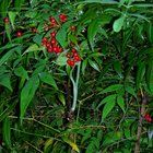 Nandina:  Feeding wild birds in winter is a kind deed many homeowners take quite seriously. But be sure you aren't accidentally providing a poisonous side-dish lurking in the landscape! http://www.oregonlive.com/hillsboro/index.ssf/2013/12/heavenly_bamboo_the_red_berrie.html