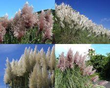 Pampasgras rosa & weiß•100 Samen/seeds•Cortaderia selloana•Pampas Grass