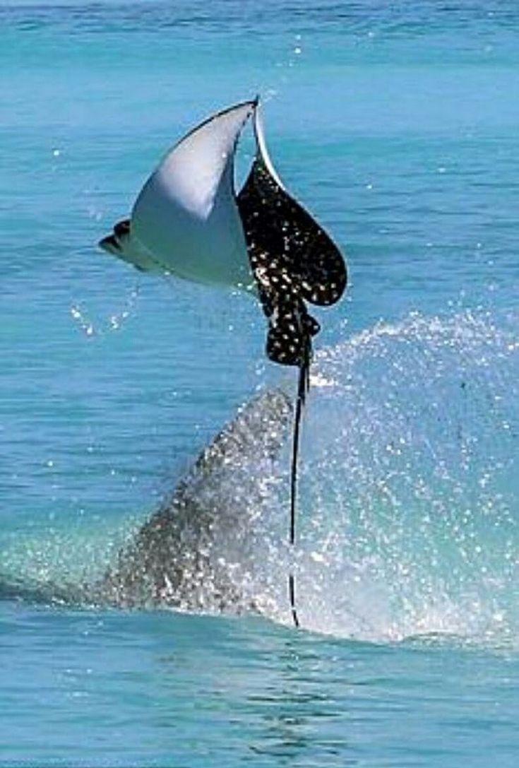 Manta ray out of water