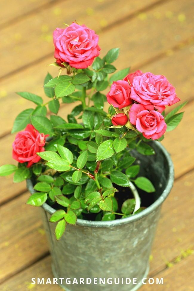 Growing Miniature Roses Indoors My Secret Tips Planting Roses