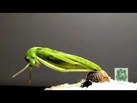 Nacimiento de insectos palo (Dryococelus australis) - YouTube