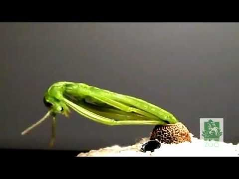 El nacimiento de un insecto palo (la supervivencia de Dryococelus australis)