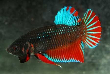 Wild betta splendens wild betta pinterest betta for Wild betta fish