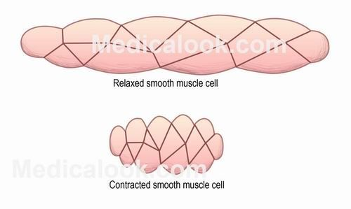 SMOOTH MUSCLE tissue is also known as visceral muscle tissue. It is layered in a distinctive pattern of circular layers. This smooth muscle can be found surrounding the walls of the blood vessels, the bronchioles in the lungs, and the sphincter muscles used in the GI tract. #smoothmuscle  #HumanAnatomy #Medicalook
