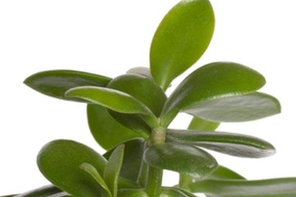 The Different Types Of Jade Plants Money Plant Crassula