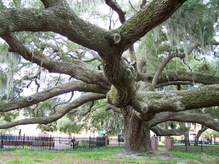 Gorgeous live oak tree in Safety Harbor, FL. I grew up with these all over our neighborhood.  I used to climb over houses from tree to tree.  I was always scared.  My buddy, Lee Hole cheered me on.  He died in a caving accident.  Josie's middle name is Leigh, partly after him.  Such a good guy!