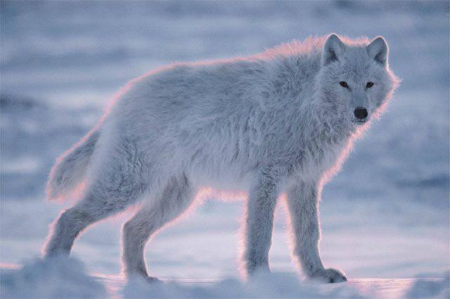 Lobo blanco en un amanecer rosado, foto de Jim Brandenburg