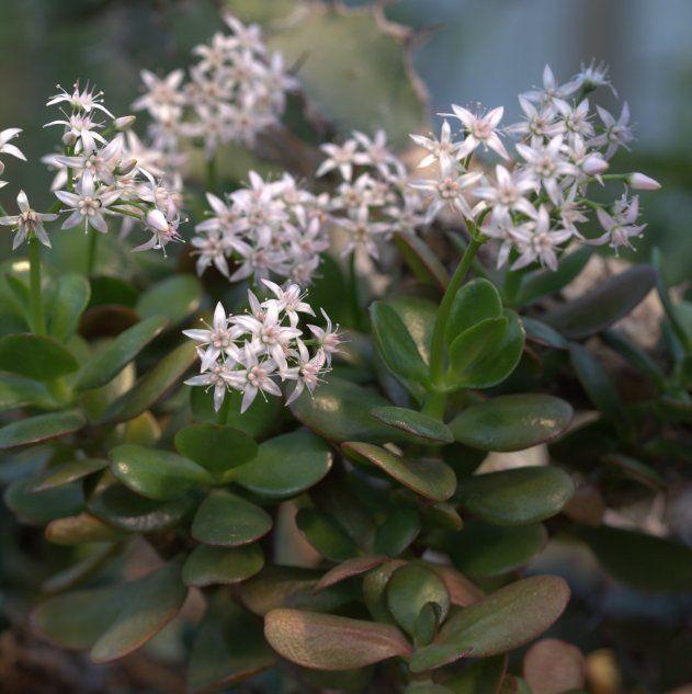 Starsze rośliny, uprawiane w dobrych warunkach, mogą zakwitnąć. Averater - wikimedia.commons CC BY SA 3.0